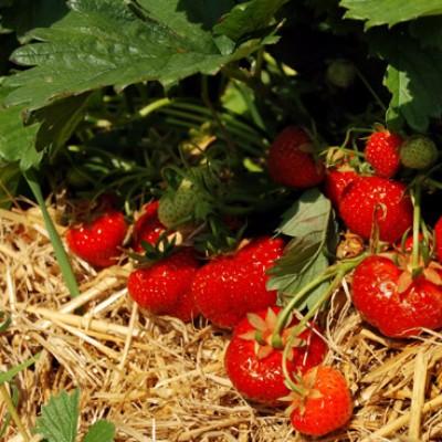 500 g aardbeien